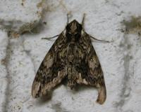Hagan's sphinx moth resting on the side of a house