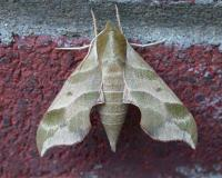 Photo of a Virginia creeper sphinx moth resting on a brick wall