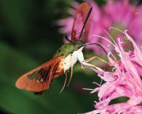 Hummingbird clearwing taking nectar from a flower